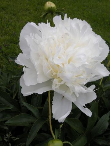 Valkoinen Pioni